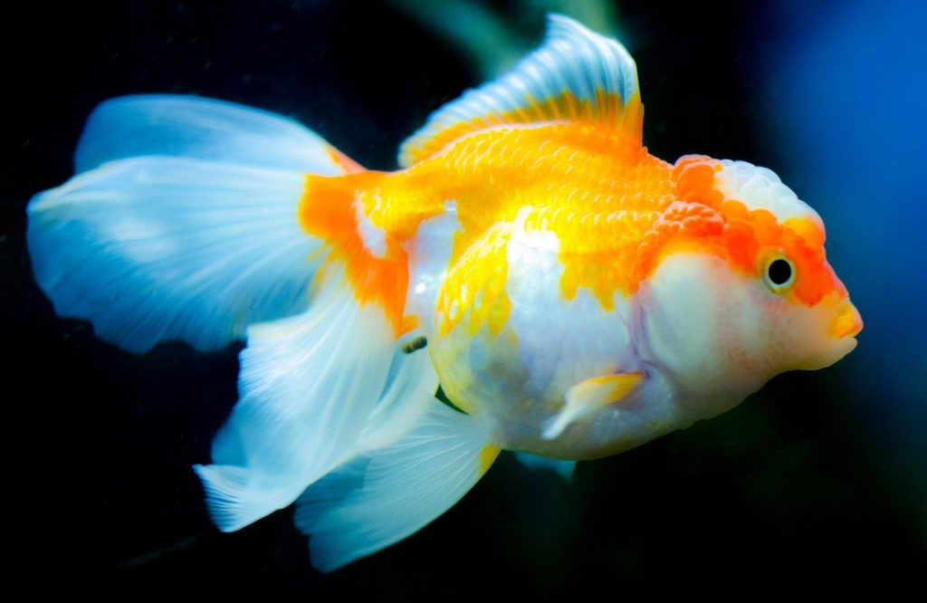 Fish that can live with goldfish