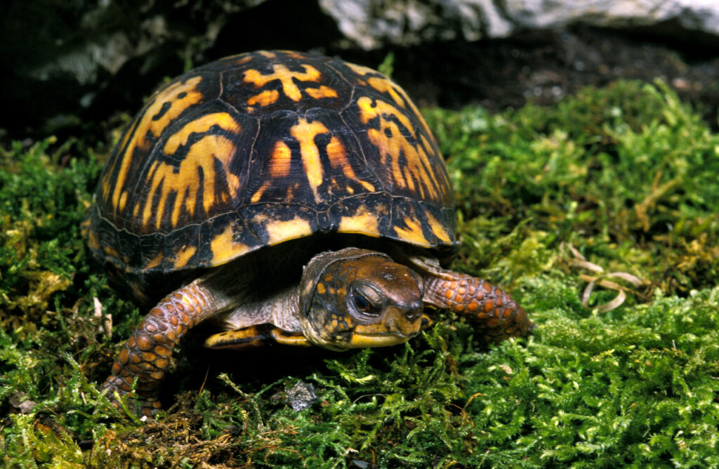 How to care for an Eastern Box Turtle